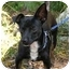 Photo 1 - Dachshund/Miniature Pinscher Mix Dog for adoption in Englewood, Florida - Toby