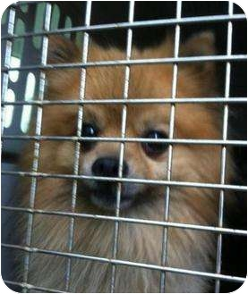 Pomeranian Dog for adoption in Hammonton, New Jersey - Pip