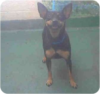 Miniature Pinscher Dog for adoption in Pembroke pInes, Florida - Chloe