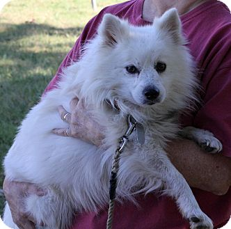 American Eskimo Dog Dog for adoption in Smithfield, North Carolina - Kio