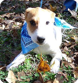Labrador Retriever/Hound (Unknown Type) Mix Puppy for adoption in Harrisonburg, Virginia - T-bone ($50.00 off)