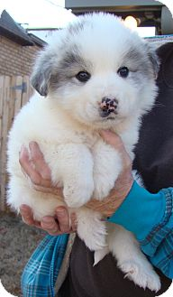 Great Pyrenees Mix Puppy for adoption in Tulsa, Oklahoma - King James  *Adopted