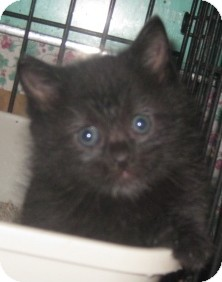 Maine Coon Kitten for adoption in Dallas, Texas - Little Bear