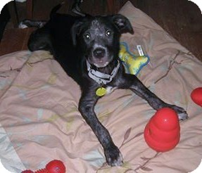 Terrier (Unknown Type, Medium)/Labrador Retriever Mix Puppy for adoption in North Olmsted, Ohio - Wilbur