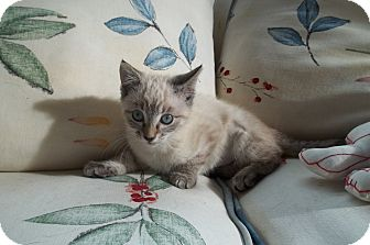 Siamese Kitten for adoption in Acme, Pennsylvania - Princess