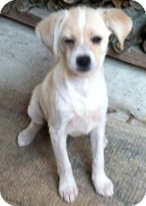 Beagle/Dachshund Mix Puppy for adoption in Hammonton, New Jersey - Mitzy