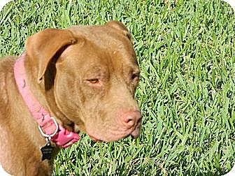 Pit Bull Terrier Mix Dog for adoption in hollywood, Florida - meerah