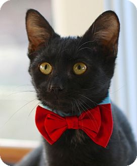 Domestic Shorthair Cat for adoption in Winston-Salem, North Carolina - Bunny