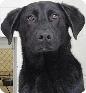 Labrador Retriever Mix Dog for adoption in Jacksonville, Arkansas - Bishop