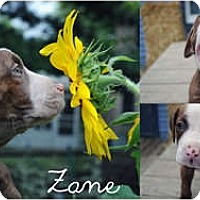 Adopt A Pet :: Zane - Toledo, OH