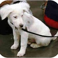 Adopt A Pet :: Ice - Mesa, AZ