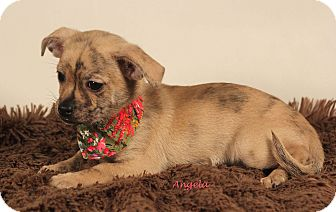 Cairn Terrier/Chihuahua Mix Puppy for adoption in Kerrville, Texas - Angela