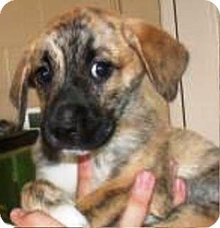 "Mastiff/Labrador Retriever Mix Puppy for adoption in Oswego, Illinois - Flower & Petal ""Petal"""