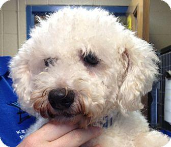 Bichon Frise Dog for adoption in Fairview Heights, Illinois - Sasha