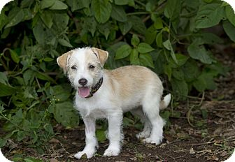 Terrier (Unknown Type, Small) Mix Puppy for adoption in Fort Collins, Colorado - Skittles