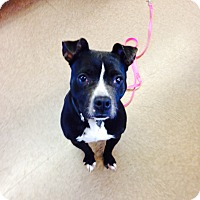 Adopt A Pet :: cookie - South Windsor, CT