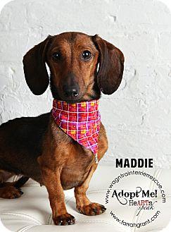 Dachshund Dog for adoption in Omaha, Nebraska - Maddie