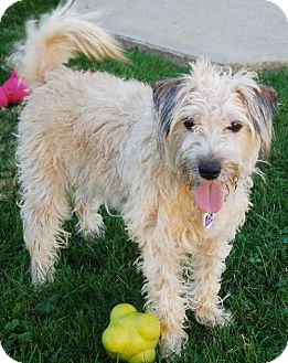 Norfolk Terrier/Poodle (Miniature) Mix Dog for adoption in Beachwood, Ohio - Lucy 2