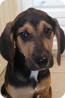 Coonhound Mix Puppy for adoption in London, Ontario - Violet