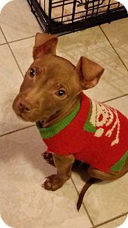 Terrier (Unknown Type, Medium) Mix Puppy for adoption in Newtown, Connecticut - Emperor Puppytine