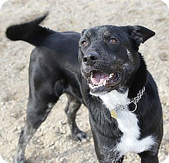 Shepherd (Unknown Type)/Bernese Mountain Dog Mix Dog for adoption in Sacramento, California - Atlas!
