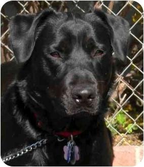 Labrador Retriever/Rottweiler Mix Dog for adoption in El Segundo, California - Lola
