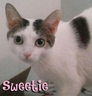 Domestic Shorthair Cat for adoption in Covington, Kentucky - Sweetie
