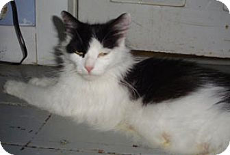Domestic Mediumhair Cat for adoption in Wakefield, Massachusetts - Mama cat