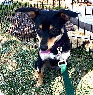 Chihuahua Mix Dog for adoption in Pleasanton, California - Pinot