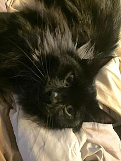 Domestic Mediumhair Cat for adoption in Napa, California - Bumpkin
