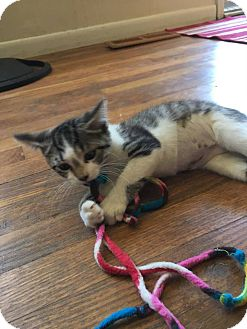 Domestic Shorthair Kitten for adoption in Waldorf, Maryland - Chic Pea