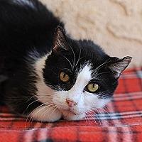Domestic Shorthair Cat for adoption in Kanab, Utah - Esther