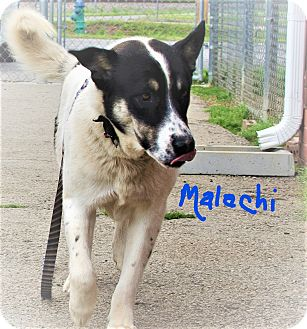 Shepherd (Unknown Type) Mix Dog for adoption in Poteau, Oklahoma - MALACHI