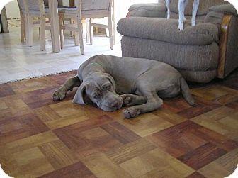 Neapolitan Mastiff Puppy for adoption in Pipe Creed, Texas - Moose