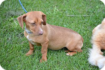 Beagle/Dachshund Mix Puppy for adoption in Springfield, Virginia - Bunny