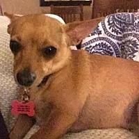 Chihuahua Mix Dog for adoption in New River, Arizona - Clara Bell
