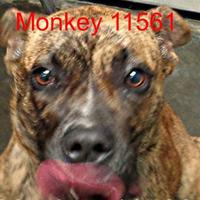 Boxer Mix Dog for adoption in Manassas, Virginia - Monkey