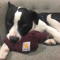 Adopt A Pet :: Petey - Manchester, MO