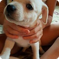 Adopt A Pet :: Star - Westminster, MD