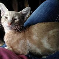 Adopt A Pet :: Bam Bam - Orlando, FL