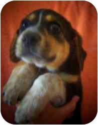 Beagle Mix Puppy for adoption in Old Bridge, New Jersey - Tocs