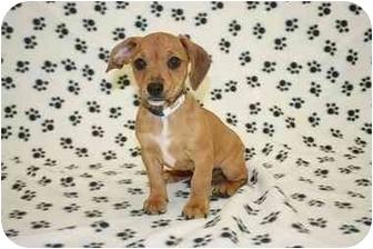 Beagle/Chihuahua Mix Puppy for adoption in Broomfield, Colorado - Missouri
