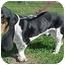Photo 4 - Basset Hound Mix Dog for adoption in North Judson, Indiana - Jonah