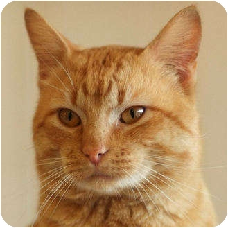 Domestic Shorthair Cat for adoption in Weatherford, Texas - R.K.