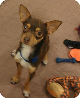 Chihuahua Dog for adoption in Phoenix, Arizona - Jagger - yes, he has the moves