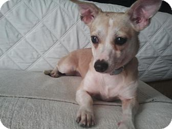 Chihuahua Mix Dog for adoption in Los Angeles, California - Ruby- perfectly trained/calm