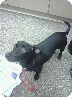 Dachshund Mix Dog for adoption in North Brunswick, New Jersey - Raisin