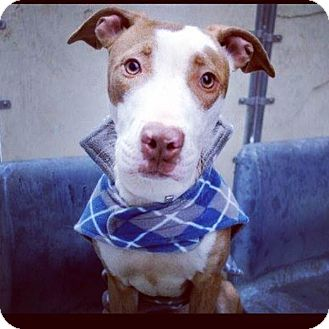 American Staffordshire Terrier Mix Dog for adoption in Long Beach, New York - Jamie