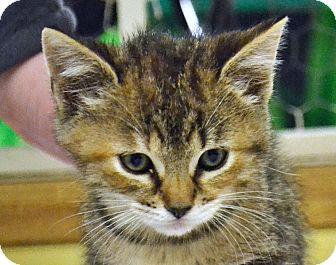 Domestic Shorthair Kitten for adoption in Searcy, Arkansas - Mingo