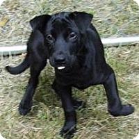 Adopt A Pet :: Bentley-Neutered $150 - Bel Air, MD
